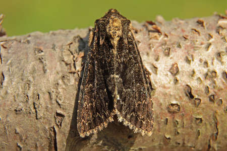 entomology: Dark Arches - Apamea monoglypha f. aethiops Stock Photo