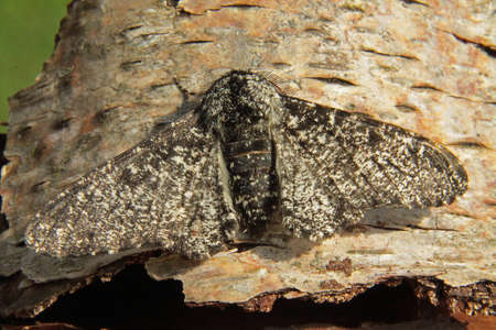 peppered: Peppered Moth - Biston betularia f. insularia