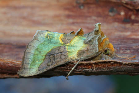 entomology: Burnished Brass - Diachrysia chrysitis