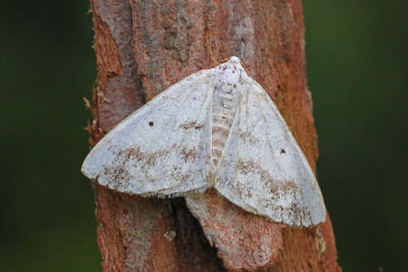 entomology: Clouded Silver - Lomographa temerata