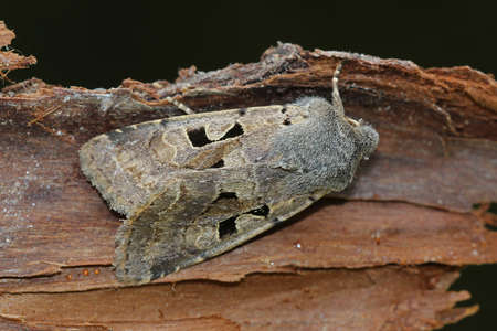 Hebrew Character - Orthosia gothica