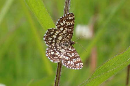 latticed: Latticed Heath - Chiasmia clathrata clathrata