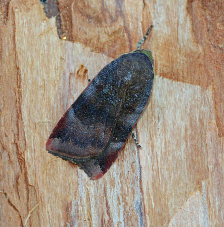 underwing: Lesser Broad-bordered Yellow Underwing - Noctua janthe