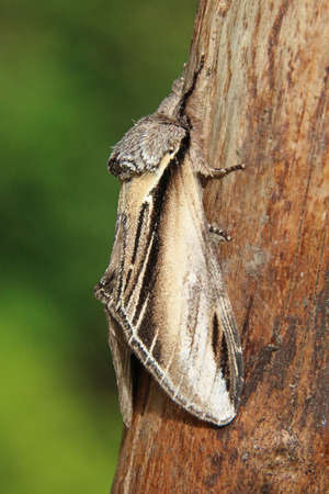 entomology: Swallow Prominent - Pheosia tremula Stock Photo