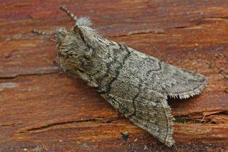 achlya: Yellow Horned - Achlya flavicornis galbanus