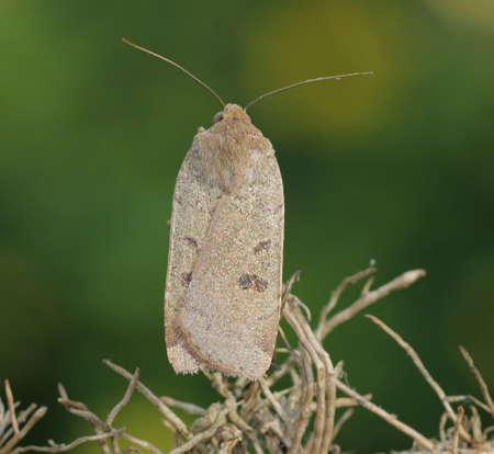 underwing: Lesser Yellow Underwing - Noctua comes Stock Photo