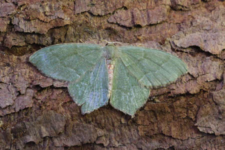 lepidoptera: Small Grass Emerald - Chlorissa viridata Stock Photo