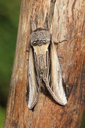 prominent: Swallow Prominent - Pheosia tremula Stock Photo