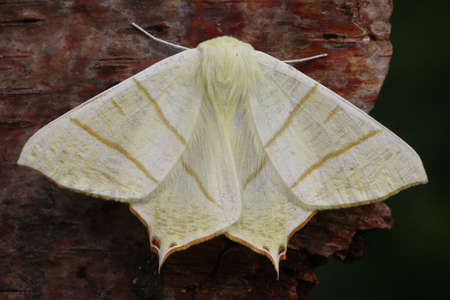entomology: Swallow-tailed Moth - Ourapteryx sambucaria