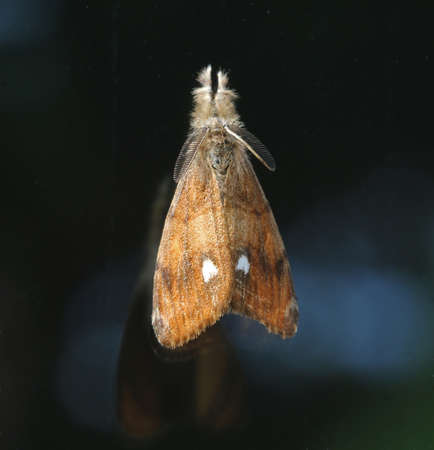 lepidoptera: Vapourer - Orgyia antiqua Stock Photo