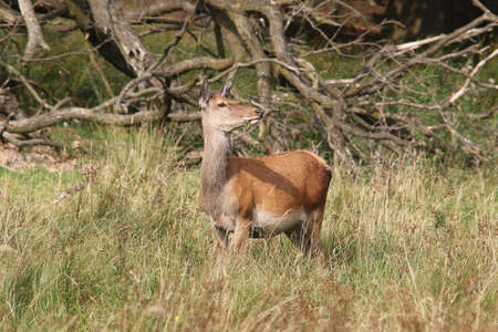 elaphus: Red Deer, Doe - Cervus elaphus