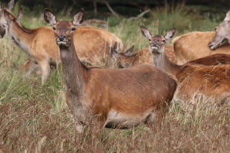 elaphus: Red Deer, doe - Cervus elaphus Stock Photo