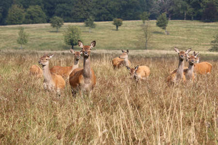 juveniles: Red Deer, Doe and juveniles - Cervus elaphus