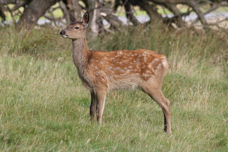 elaphus: Red Deer, fawn - Cervus elaphus Stock Photo