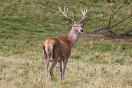 cervus elaphus: Red Deer, adolesent - Cervus elaphus