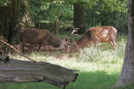cervus elaphus: Red Deer, Stags - Cervus elaphus