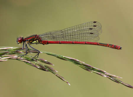 damselfly: Large Red Damselfly - Pyrrhosoma nymphula, male