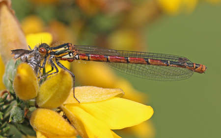 damselfly: Large Red Damselfly - Pyrrhosoma nymphula, female on Gorse.