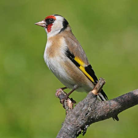 goldfinch: Goldfinch - Carduelis carduelis