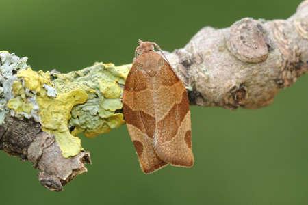 barred: Barred Fruit-tree Tortix - Pandemis cerasana Stock Photo