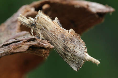 entomology: Pale Prominent - Pterostoma palina