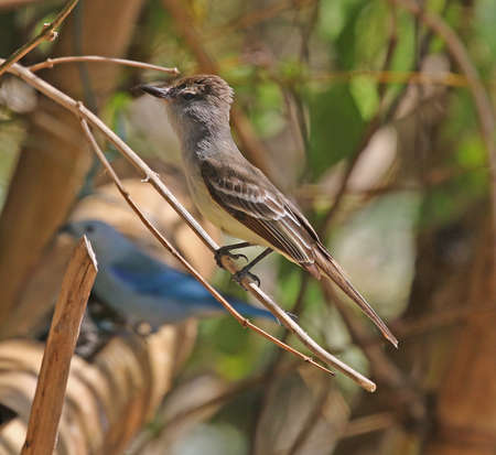 Brown-crested Flycatcher - Myiarchus tyrannulus tyrannulus