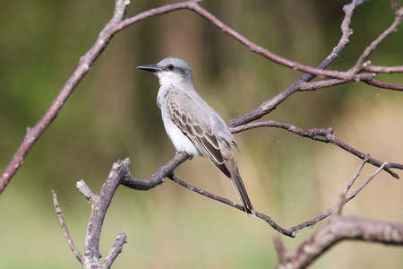 Grey Kingbird - Tyrannus dominicensis vorax