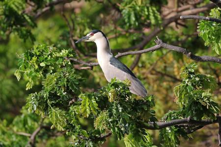 Black-crowned Night Heron - Nycticorax nycticorax hoactli