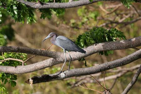 Little Blue Heron - Egretta caerulea Stock Photo