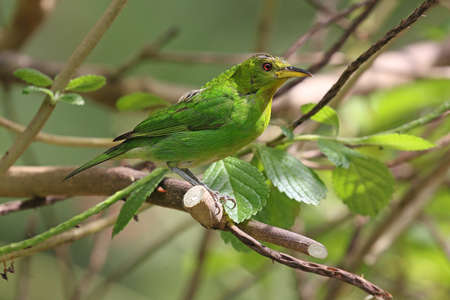 Green Honerycreeper - Chlorophanes spiza spiza
