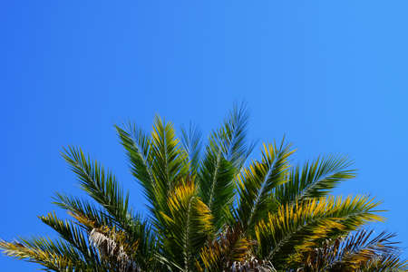 date palm tree: Date palm tree