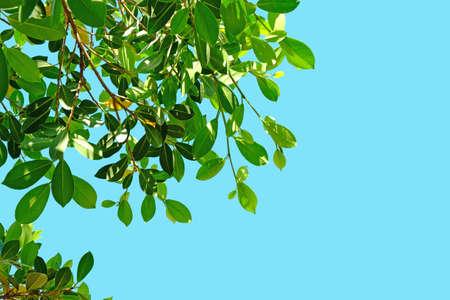 banyan: Banyan leaf