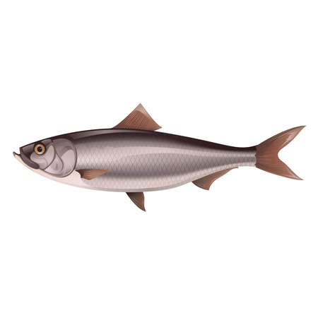 Vector image of an natural-looking  grey Herring