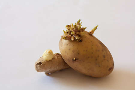 germinating: Germinating potato and ginger on white background
