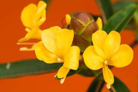 neutralizować: Mangusta kwiat w ogrodzie ziołowym Zdjęcie Seryjne