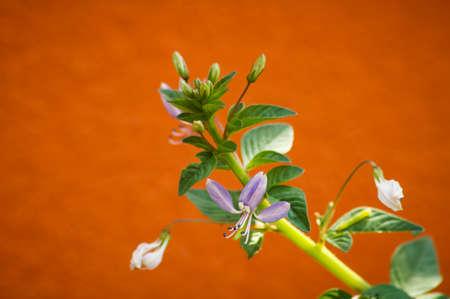 violets: Violets grass flowers