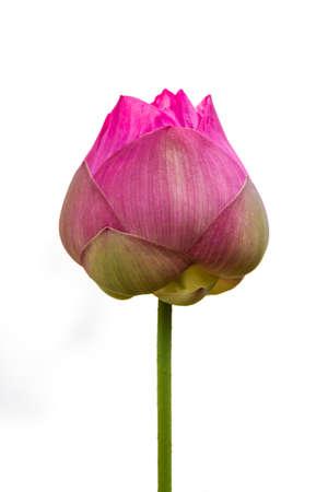 Lotus-bloemknop op witte achtergrond Stockfoto