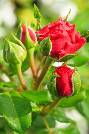 red rose bokeh: Bud red rose on green bokeh background