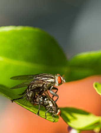 fucking: Flies are breeding on green leaf Stock Photo