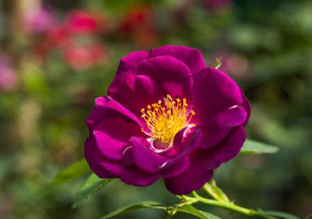 purple rose: Purple rose bud with leaf