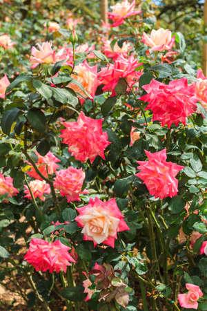 rose bush: Red rose bush