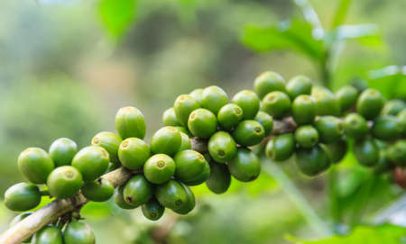unpicked: Coffee beans on the branch