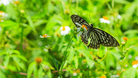 Closeup butterfly on flower.(Spotted Zebra or Graphium megarus).