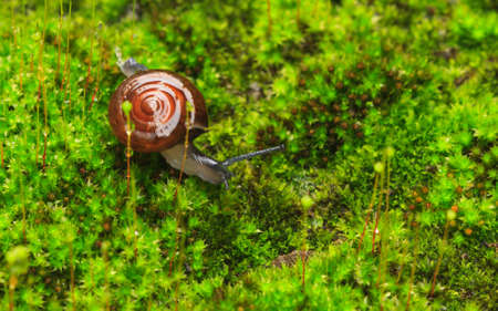 Snail in the garden on the green moss. Stock Photo