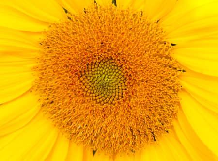 Sunflower yellow color closeup pollen.