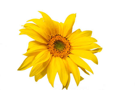 Sunflower yellow color isolate on white background.