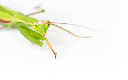 Closeup of the mantis isolate on white background.