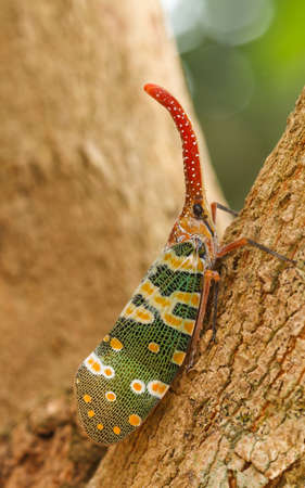 Fulgorid Planthoppers - Lanternflies.