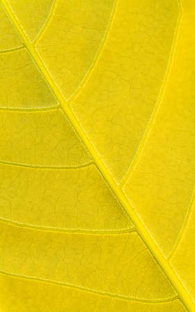 Golden yellow leaf texture pattern, Natural texture background.