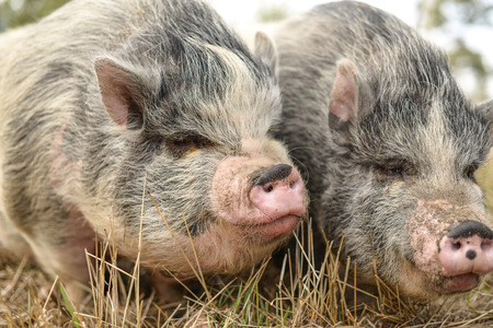 pot belly: PInk & black Pot belly pigs in a wheat field Stock Photo